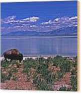 Buffalo And The Great Salt Lake Wood Print