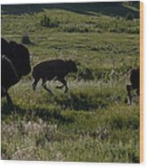 Buffalo Bison Roaming In Custer State Park Sd.-1 Wood Print