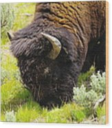 Buffalo Grazing Wood Print