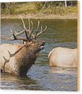 Bugling Bull Elk And 2 Female Cows In Estes Lake  Co Wood Print