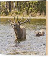 Bugling Bull Elk And Calf Colorado Rut 4 Wood Print