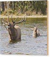 Bugling Bull Elk And Calf Colorado Rut 5 Wood Print