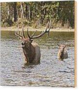 Bugling Bull Elk And Calf Colorado Rut  Wood Print