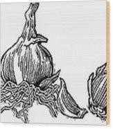 Bulbs Of Garlic, Woodcut Wood Print by Gary Hincks