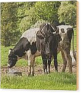 Bull And Cows Grazing On Grass In Farm Maine Wood Print