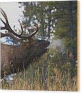 Bull Elk Bugling Jasper National Park Wood Print by Carson Ganci