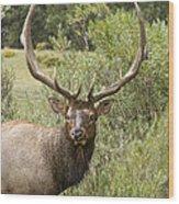 Bull Elk Eyes Wood Print by James BO  Insogna