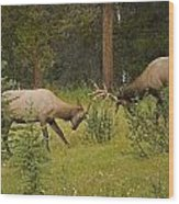 Bull Elk Fighting, Banff National Park Wood Print by Philippe Widling