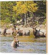 Bull Elk Watching Over Herd 4 Wood Print