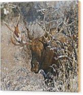 Bull In The Snow Wood Print