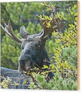Bull Moose At Dusk Wood Print