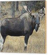 Bull Moose, Peter Lougheed Provincial Wood Print