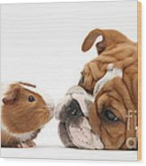 Bulldog Pup Face-to-face With Guinea Pig Wood Print