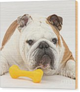 Bulldog With Plastic Chew Toy Wood Print