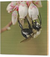 Bumble Bee And Blueberry Blossoms Wood Print