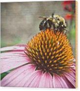 Bumble Bee Feeding On A Coneflower Wood Print
