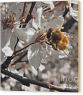 Bumble Bee On A Cherry Blossom Wood Print