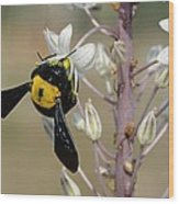 Bumblebee On Sea Squill Flowers Wood Print by Photostock-israel