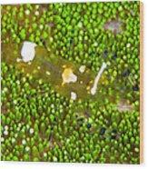 Bumblebee Shrimp On Adhesive Anemone Wood Print