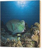 Bumphead Parrotfish, Australia Wood Print