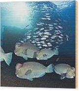 Bumphead Parrotfish Wood Print