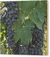 Bunches Of Sangiovese Grapes Hang Wood Print