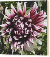 Burgundy And White Dahlia Wood Print