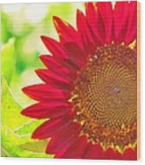 Burgundy Sunflower Wood Print