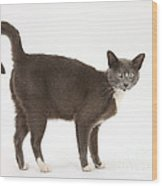 Burmese-cross Cat Wood Print