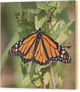Butterfly - Monarch - Resting Wood Print