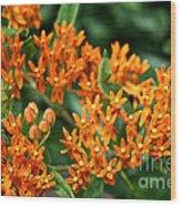 Butterfly Milkweed Wood Print