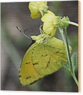 Butterfly - Yellow Sulphur On Yellow Wood Print