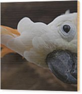 Cacatua Sulphurea Citrinocristata - Citron Crested Cockatoo Wood Print