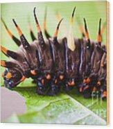 Cairns Birdwing Butterfly Caterpillar Wood Print