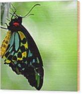 Cairns Birdwing Butterfly Wood Print
