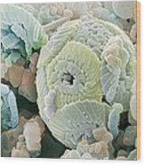 Calcareous Phytoplankton Fossil, Sem Wood Print