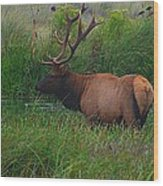 California Elk 0117h Wood Print