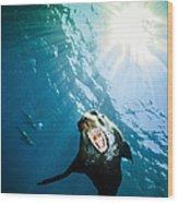 California Sea Lion, La Paz, Mexico Wood Print by Todd Winner