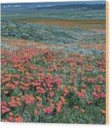 Californian Poppies (eschscholzia) Wood Print