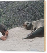 Californian Sea Lion With A Tourist Wood Print by Georgette Douwma