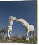 Camargue Horse Equus Caballus Stallions Wood Print