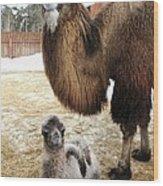 Camel And Colt Wood Print by Ria Novosti