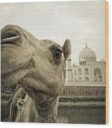 Camel In Front Of The Yamuna River And Wood Print