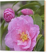 Camellia Camellia X Williamsii Donation Wood Print