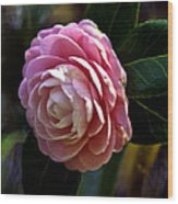 Camellia Twenty-three Wood Print