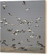 Canada Geese And White Geese Migration Wood Print