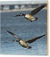 Canada Geese Coming In For A Landing Wood Print