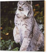 Canada Lynx With Paw Up   Wood Print