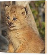 Canadian Lynx Kitten, Alaska Wood Print
