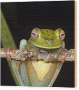Canal Zone Tree Frog Wood Print